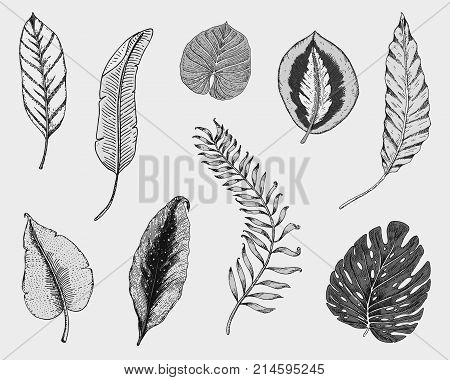 tropical or exotic leaves, leaf of different vintage looking plants. monstera and fern, palm with banana botany set. flowers engraved vintage, hand drawn. botanical organic product. green background