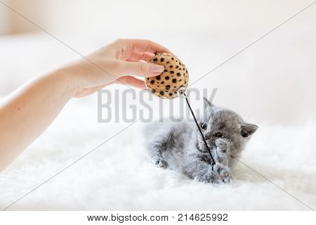 Baby kitten playing with a toy held in woman's hand. British shorthair cat.