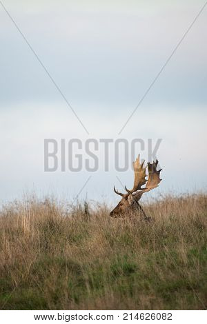 A buck Fallow Deer ( Dama dama, Cervidae) sitting in the grass during the rutting season.