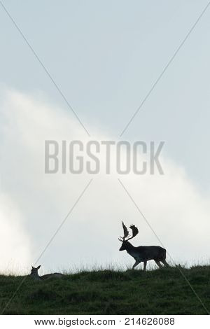 A buck and a doe Fallow Deer ( Dama dama, Cervidae)  silhouetted on a hilltop during the rutting season.