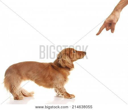 Long haired Dachshund puppy being disciplined. The owner is pointing a finger.