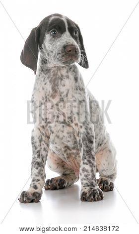 german shorthaired pointer puppy on white background