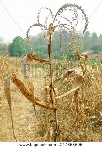 dry leaf and dry plant on the farm