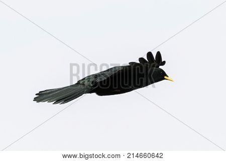 Side view of Alpine Chough, yellow-billed Chough, high altitude black bird with yellow beak in flight (Pyrrhocorax graculus)