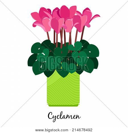 Cyclamen plant in pot isolated on the white background, vector illustration