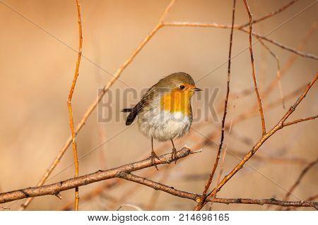 A European Robin (erithacus rubecula) perched on a branch
