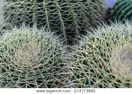 echinocactus succulent close up background texture pattern spikes design