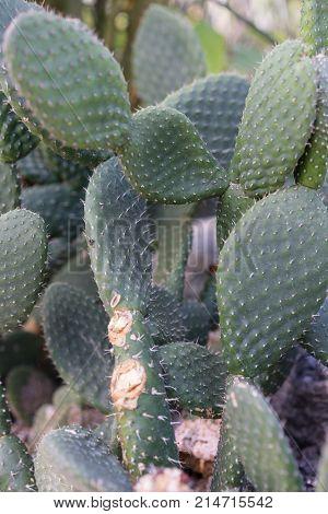 tacinga saxatilis cactus succulent close up botany poster