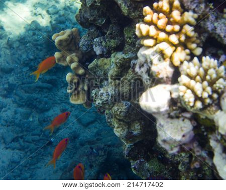Group of red fish near coral, reef