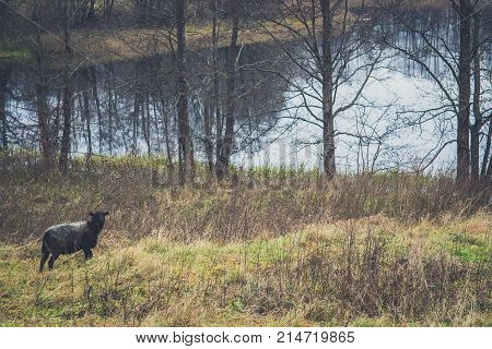 Black Headed Sheep In Pasture