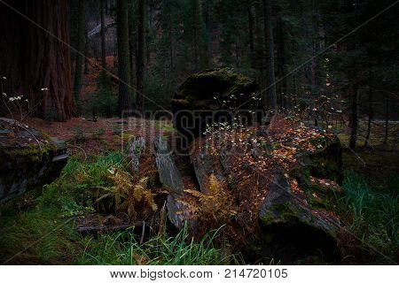 Amazing dark and moody view of a fallen Sequoia tree with vibrant grass and fall foliage in Sequoia and Kings Canyon National Park.