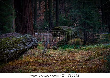 Stunning view of a giant fallen Sequoia tree in a dark forest with fall foliage and moss in Sequoia and Kings Canyon National Park.