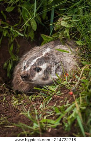 North American Badger (Taxidea taxus) Peers Out of Burrow - captive animal