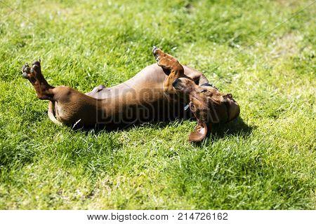 miniature dachshund on back