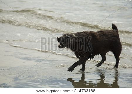 A patterdale terrior playing on a beach and barking