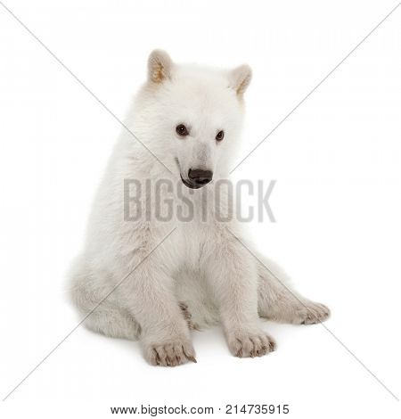 Polar bear cub, Ursus maritimus, 6 months old, sitting against white background