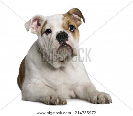 English Bulldog puppy, 3 months old, lying down in front of white background