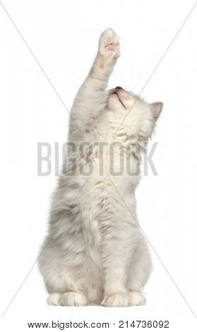 Birman cat, 6 months old, sitting in front of white background