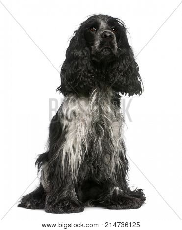 English Cocker Spaniel, 2 and a half years old, sitting in front of white background
