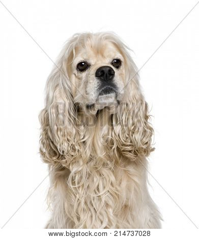 American Cocker Spaniel, 4 years old, sitting in front of white background, studio shot