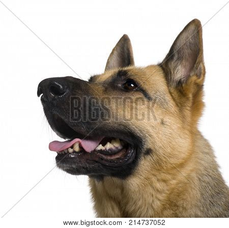Close-up of German Shepherd, 9 years old, in front of white background