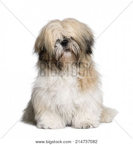 Shih Tzu, 7 years old, sitting in front of white background, studio shot