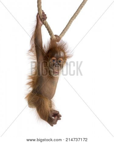 Baby Sumatran Orangutang (4 months old), hanging on a rope, studio shot, in front of a white background