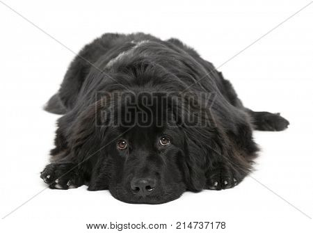 Newfoundland dog, 10 months old, in front of white background, studio shot