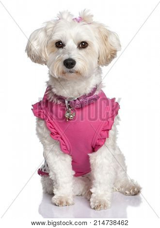 maltese dog (6 years old) in front of A white background