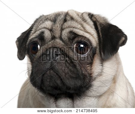 close-up on a Pug, 2 Years old, in front of white background, studio shot
