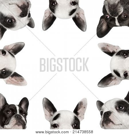 Low angle collage of French bulldogs in front of white background, studio shot