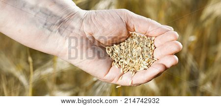 Panorama Of Harvest Time And Golden Hour. Wheat Grains Falling From Old Woman Hand In The Wheat Fiel