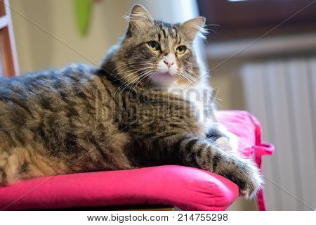 Cute crossed-breed long haired cat sitting on pink pillow with very interested look.