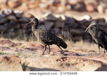 Wattled Ibis (bostrychia Carunculata)
