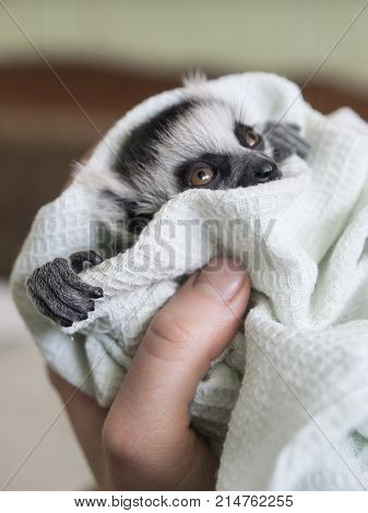 A hand-reared baby ring-tailed lemur is swaddled in a linen. A nurse's hand holds the animal child. The lemur has fluffy grey hair, a touching snout and big expressive orange eyes.
