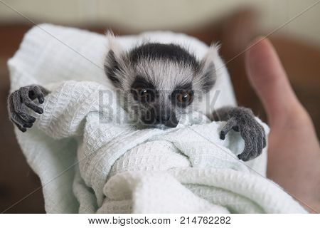 A hand-reared baby ring-tailed lemur swaddled in a linen is looking. A hand holds the animal child. The lemur has fluffy grey hair, a touching snout, crooked fingers, and big expressive orange eyes.