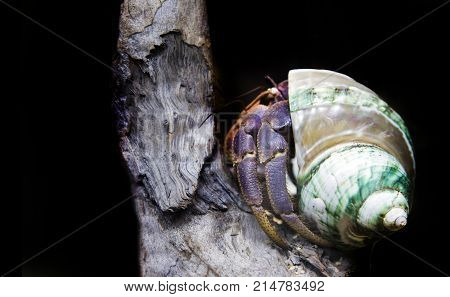 close up hermit crab on wood and black background