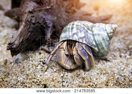 hermit crab exotic pet in aquarium sand and dry wood decoration