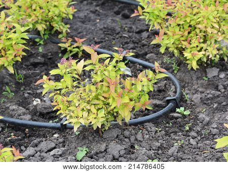 Close up on drip irrigation systems. Micro irrigation also called drip irrigation or low-volume irrigation delivers water directly to the root zone of the plant.