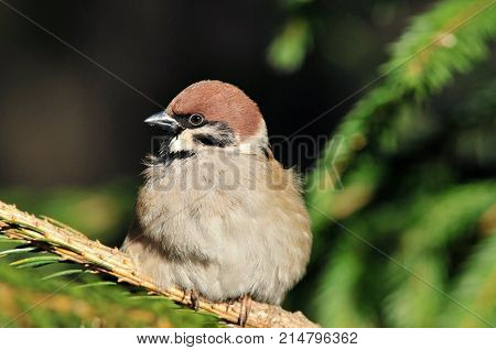 The Eurasian tree sparrow. Sparrow sitting on a branch of spruce.
