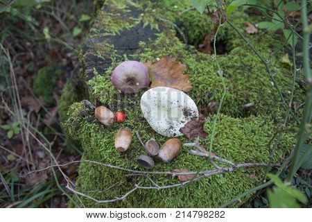 Old tree stump covered with green moss. natural environment on the stump acorns Mushrooms. Forest background