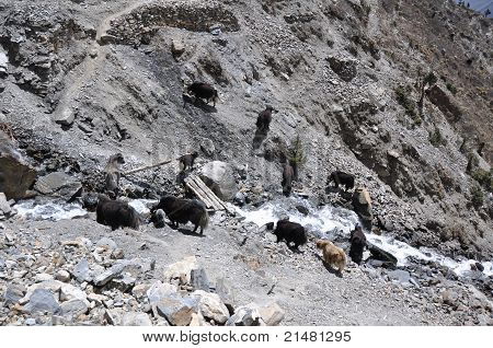 A herd of yaks on watering place, Nepal
