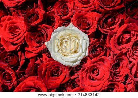 Natural rose flowers background free space. Oone white rose among red roses. Individuality outstanding uniqueness independence think different leadership concept. Out from the crowd