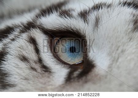 Extreme Close Up Blue Eye Of White Tiger