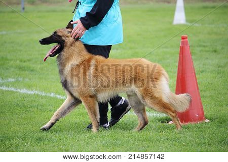 a belgian shepherd dog tervueren who walks at the feet of his master for a dog contest