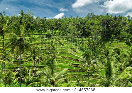 Green Cascade Rice Field Plantation At Tegalalang Terrace. Bali, Indonesia
