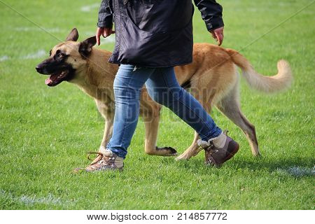 the Belgian Shepherd Dog Malinois walks at the feet of his master during a dog contest