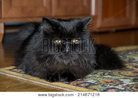 Young Persian Cats. Long, fluffy black coat. The cat is well nourished, has a shiny coat. He lies on the floor in the apartment.