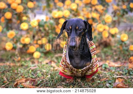 beautiful dachshund dog, black and tan, in a warm clothes sweater (jacket) sits in the park on a background of autumn flowers and leaves. Warm clothes for dogs