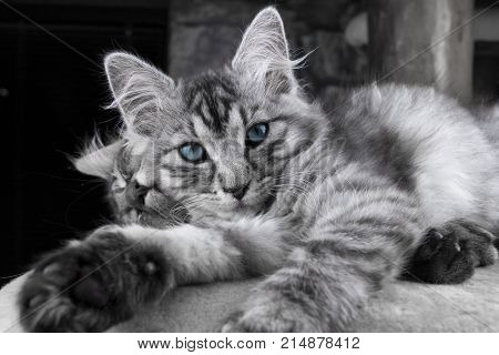 Young grey Maine Coon cat with blue eyes is lying and posing to camera. Beautiful little cat looking to camera before sleeping. Sleepy grey and cute cat with magical eyes with other cat in background.